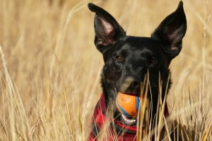 Dog with ball in tall grass.